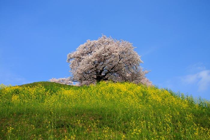 桜の画像 p1_11