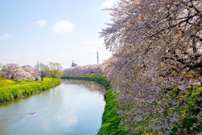 Kitakoshigaya sakura02